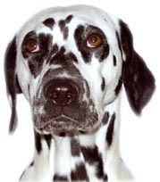 It would be a Dalmatian!