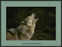 Click to send this wolf as a postcard